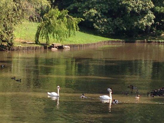 Sarah P. Duke Gardens: Lovely swans