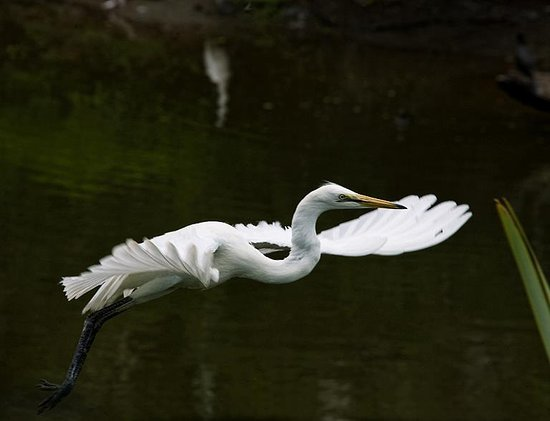 White Heron Sanctuary Tours: Kotuku taking flight, at the White Heron Sanctuary, Whataroa, West Coast, NZ