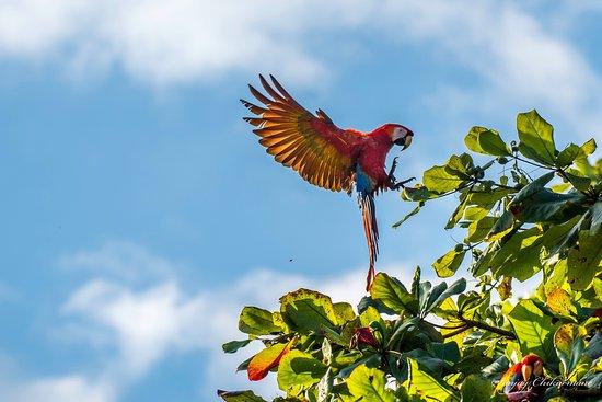 Alma del Pacifico Beach Hotel & Spa: Scarlet Macaw