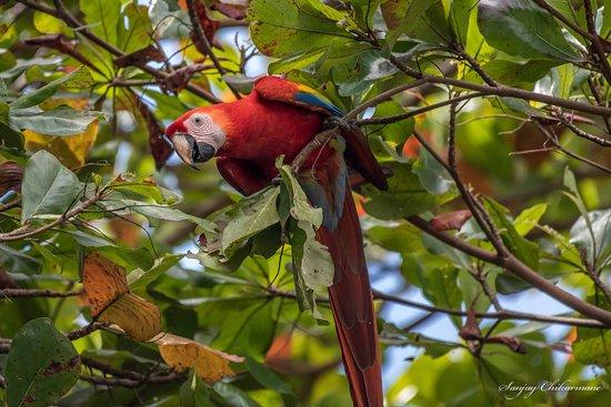 Alma del Pacifico Beach Hotel & Spa: Scarlet Macaws in Walnut Trees