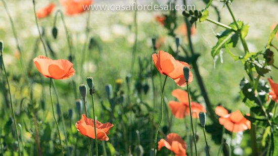 Moncarapacho, Portugal: Wild poppies