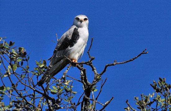 Malpartida de Plasencia, Spanien: Elanio común durante la ruta Birding Monfragüe