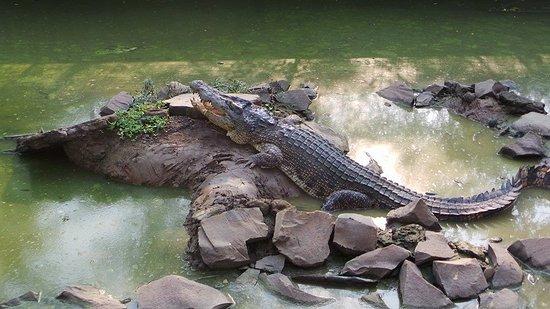 Buaya berusia sekitar 15 tahun, panjang 2 meter di Blanakan, Subang.