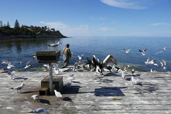 Кингскот, Австралия: Pelikan Fütterung