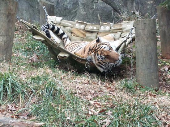 Greensboro Science Center: Tiger in a hammock