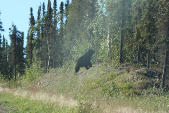 Coldfoot, AK: the bear we saw on the way home