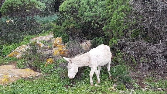 Asinara, Italy: Asino albino