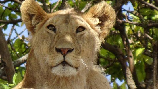 Arusha Region, Τανζανία: Lioness