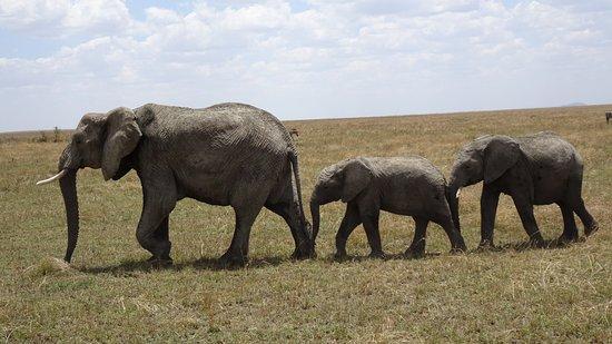 Arusha Region, Τανζανία: Elephants