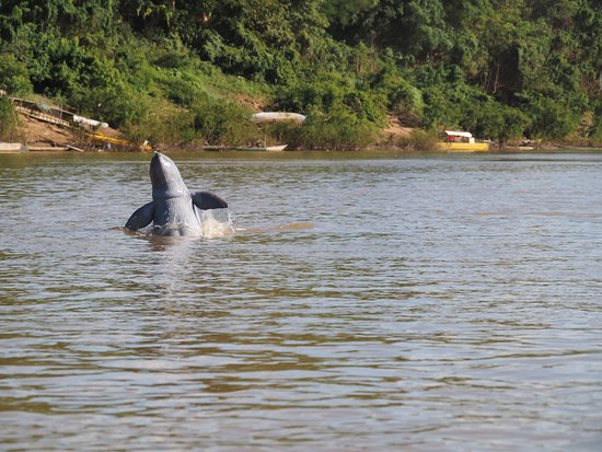 Kratie, Камбоджа: One of the remaining 85 Irawaddy dolphins made an appearance at just the right moment