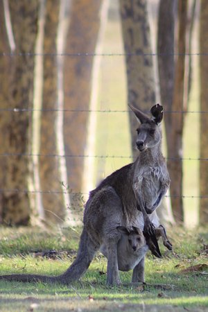 Windella, Australia: OK, for a Canadian a roo and joey hanging around is pretty cool.
