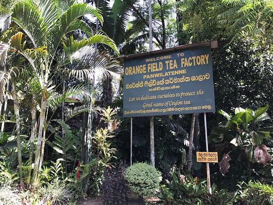 Orange Field Tea Factory