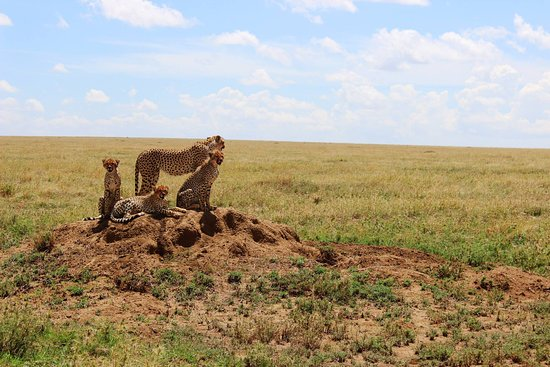 Tamaqua, PA: Cheetah mother with cubs in Serengeti National Park