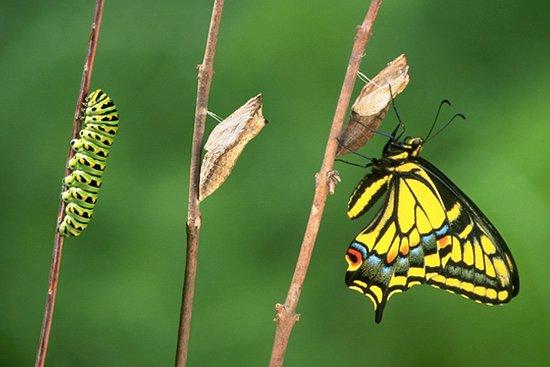 Modica, Italy: Le fasi del passaggio da crisalide a farfalla che potrete osservare nella casa delle farfalle