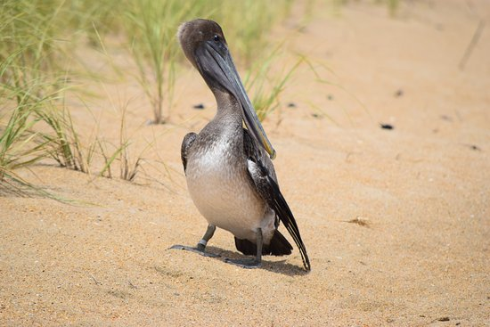 Sanderling Resort: Pelican on the Beach