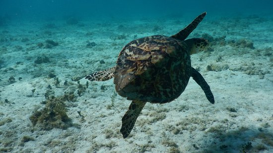 Small hawksbill seen while snorkeling off the Point of Sand.
