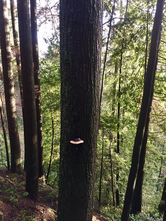 North Vancouver, Kanada: Mushrooms growing on trees