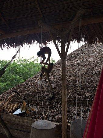 Isla Popa, Panama: Monkeys at play.