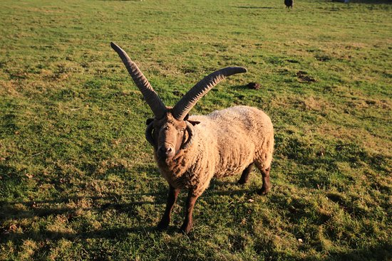 Cholderton, UK: Manx longhorn sheep