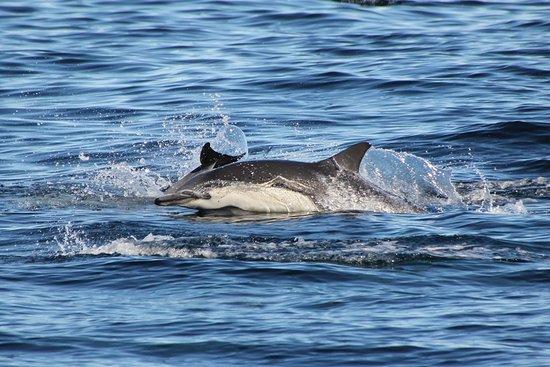 Dana Point, CA: Common Dolphin