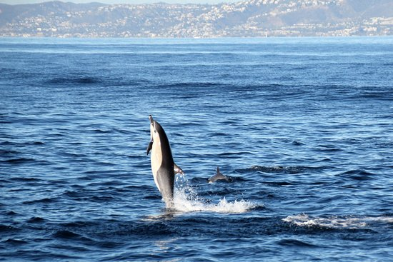 Dana Point, CA: Common Dolphin Jumping