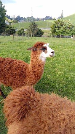 Otorohanga, Nueva Zelanda: The smaller female alpacas
