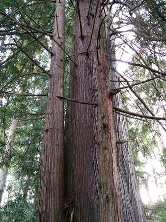 Ladysmith, Canada: Fir trees along the Holland Creek Trail