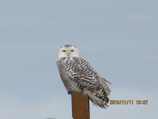 Oak Hammock Marsh Interpretive Centre: we saw this beautiful owl in 2015 Nov!