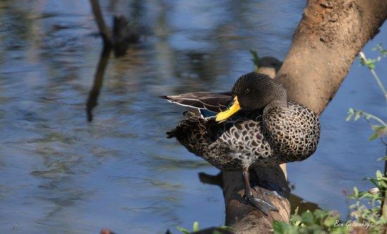 Austin Roberts Bird Sanctuary : Duck