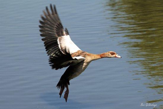 Austin Roberts Bird Sanctuary : Duck in flight
