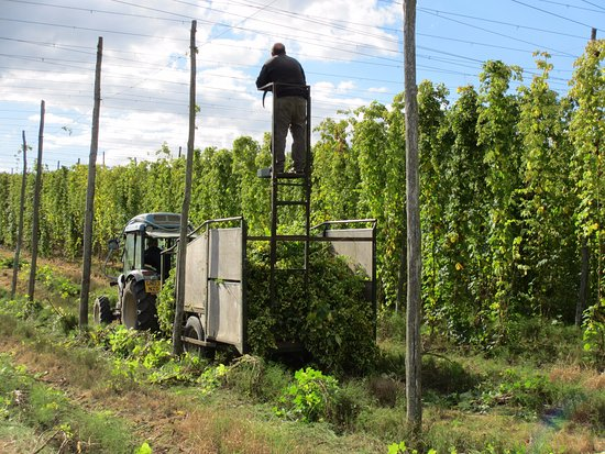 Cranbrook, UK: Hop Picking on the other side of our lakes