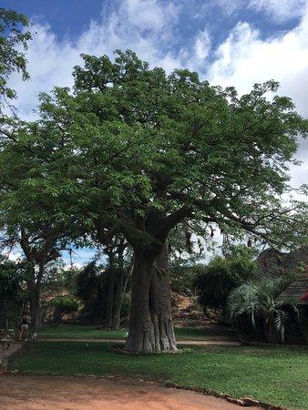 Louis Trichardt, Sudáfrica: Magnifique Baobab à l'entrée du Lodge