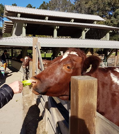 Berkeley, CA: cow being fed - happy and brown