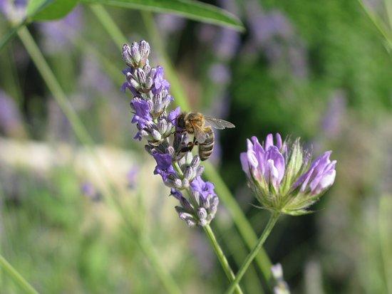 Le Relais du Peyloubet: Der Lavendel blüht im organisch bewirtschafteten Garten