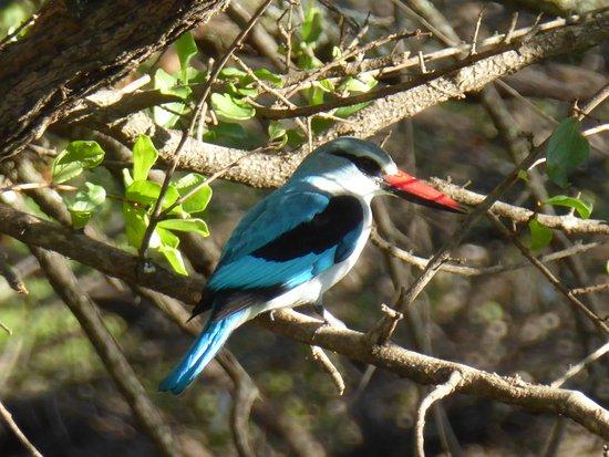 Francistown, Botsuana: martin pescatore in giardino
