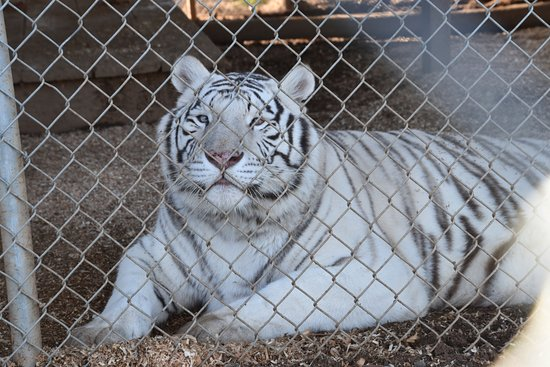 Oroville, CA: The white tiger through on set of fencing (blur on the right).