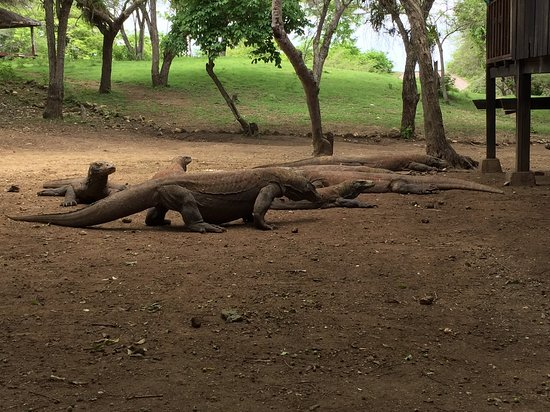 Komodo, Indonesia: The dragons in Rinca Island.