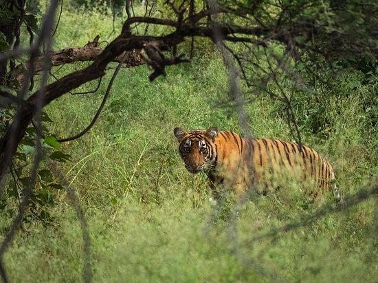 Ranthambhore Regency Hotel: tiger tiger!