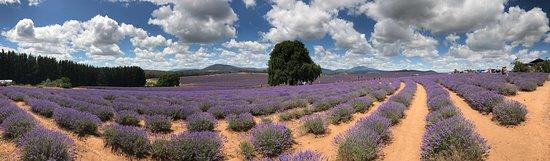 Bridestowe Lavender Estate: photo2.jpg