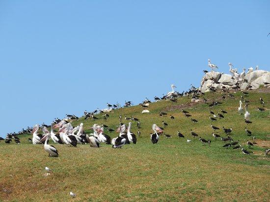 Albany, Australia: Pelicans
