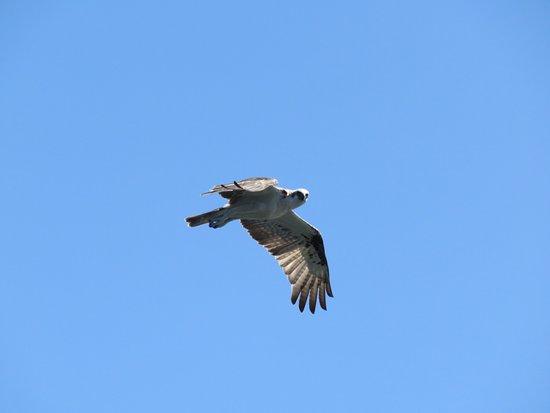 Albany, Australia: Osprey