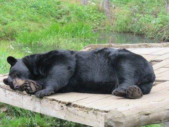 Montebello, Canada: Schwarzbär