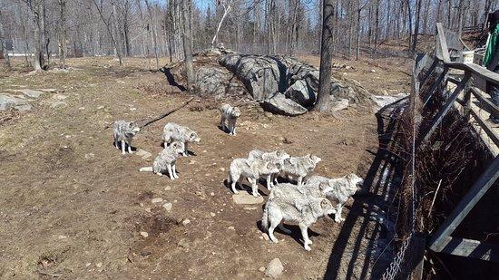 Montebello, Canada: Wolfsrudel