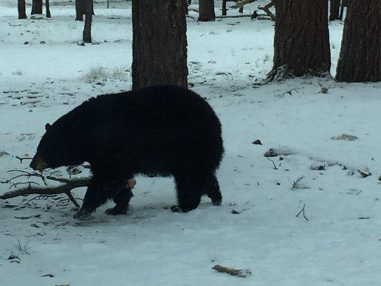 Williams, AZ: Bears got kinda close!