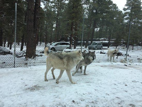 Williams, AZ: Wolves