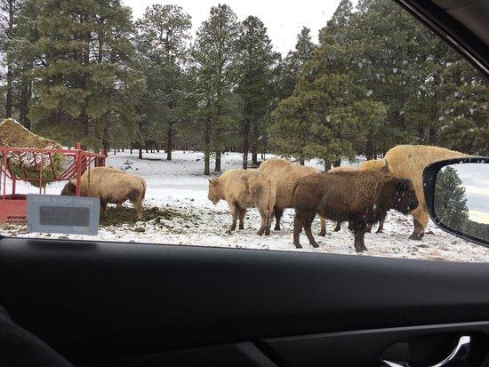 Williams, AZ: Bison