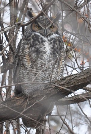 Bowling Green, OH: Great horned owl keeps watch near the prairie.