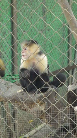 Canas, Costa Rica: Monkeys
