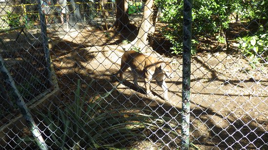 Canas, Costa Rica: Jaguar