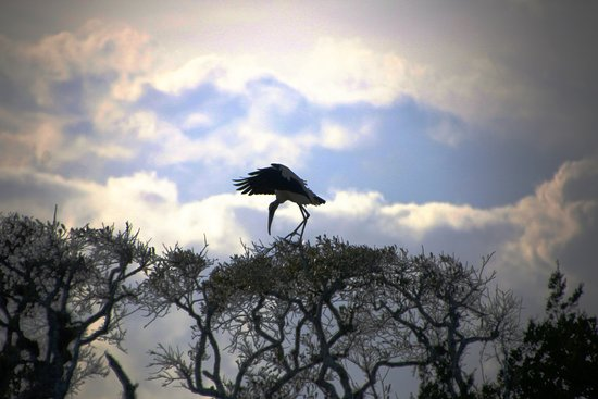 Fernandina Beach, FL: Wood Stork Landing - Silhouette - Cumberland Island